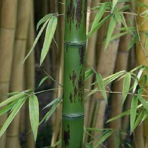 PHYLLOSTACHYS nigra 'Boryana'
