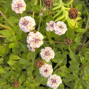 PHYLA nodiflora var canescens