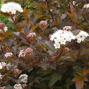 PHYSOCARPUS opulifolius 'Diablo d'Or'