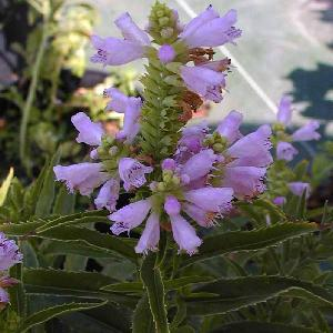 PHYSOSTEGIA virginiana 'Bouquet Rose'