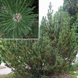 PINUS mugo subsp. mughus