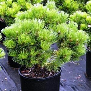 PINUS nigra 'Austriaca Nana'