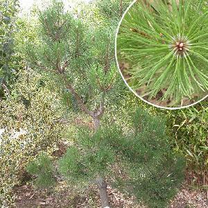 PINUS nigra var. austriaca (en topiaire)