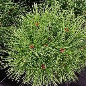 PINUS nigra 'Pierrick Bregeon'