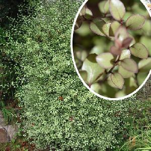 PITTOSPORUM tenuifolium 'Green Elf'