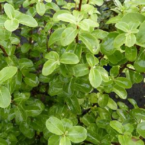 PITTOSPORUM tenuifolium 'Tiki'