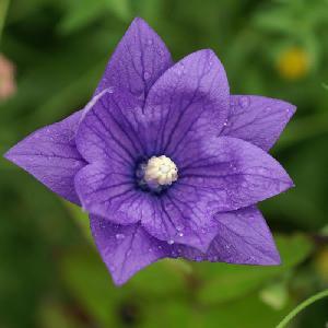 PLATYCODON grandiflorus 'Hakone Blue'