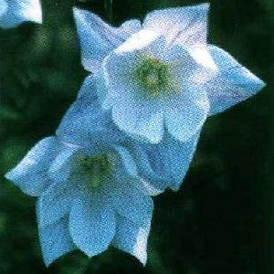 PLATYCODON grandiflorus 'Hakone White'