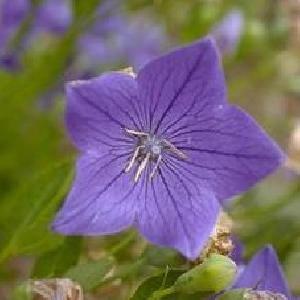 PLATYCODON grandiflorus 'Mariesii'