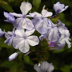 PLUMBAGO auriculata (capensis)