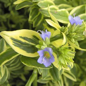 POLEMONIUM caeruleum 'Blanjou' ® (Brise d'Anjou)