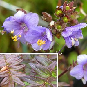 POLEMONIUM caeruleum 'Purple Rain'