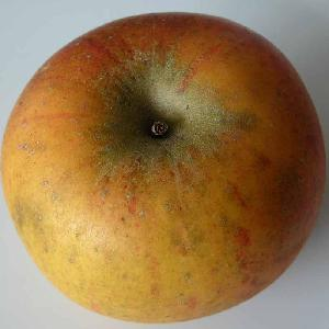 Pommier 'Cox Orange Pippin'