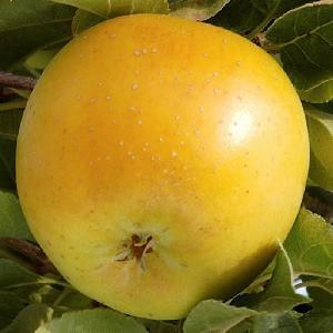 Pommier 'Goldrush'®