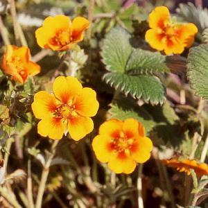 POTENTILLA argyrophylla