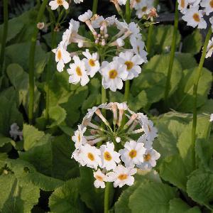 PRIMULA japonica 'Alba'