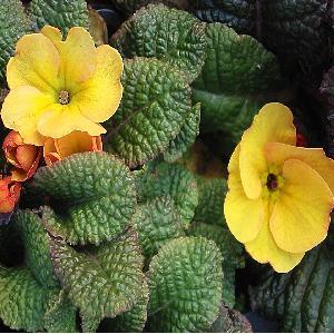 PRIMULA wanda 'Yellow'