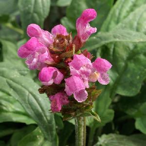 PRUNELLA grandiflora 'Rubra' (P. vulgaris 'Rubra')