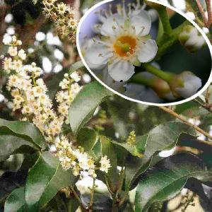 PRUNUS lusitanica subsp. azorica