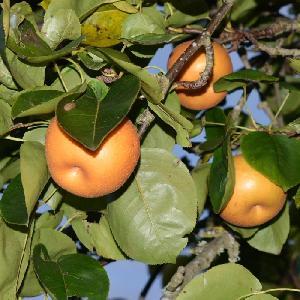 PYRUS pyrifolia 'Chojuro' (NASHI)