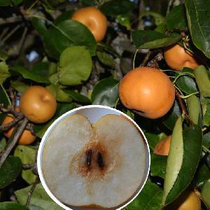 PYRUS pyrifolia 'Kosui' (NASHI)