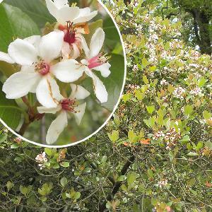 RHAPHIOLEPIS umbellata f. ovata