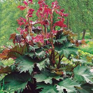 RHEUM palmatum var. tanguticum 'Red Selection'