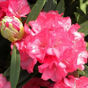 RHODODENDRON 'Ana'