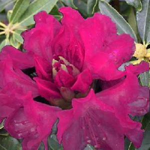 RHODODENDRON arboreum 'Kervescar'