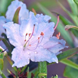 RHODODENDRON augustinii 'True Blue'