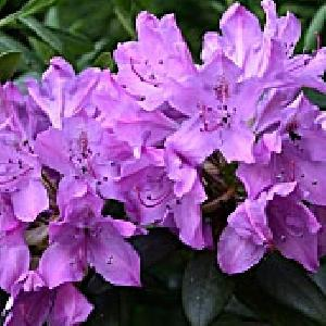 RHODODENDRON 'Catawbiense Bourseault'