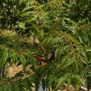 RHUS typhina 'Dissecta' (= 'Laciniata')