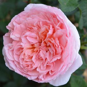 ROSA 'Abraham Darby' ® (='Auscot')