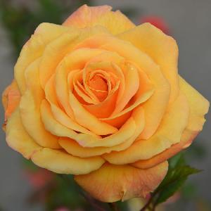 ROSA 'Amber Flush'® (tige)