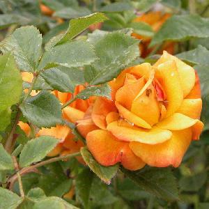 ROSA 'Amber Flush'®