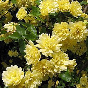 ROSA banksiae 'Lutea'