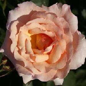 ROSA 'Belle de Londres'