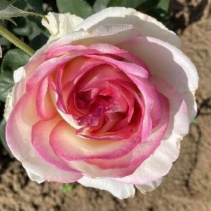 ROSA 'Boreale'®