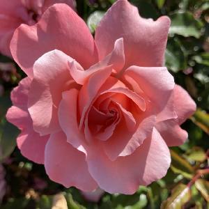 ROSA 'Botticelli'® (tige)