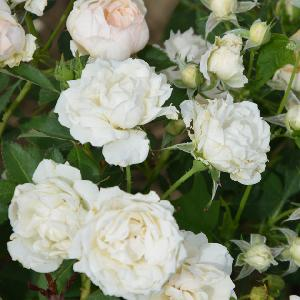 ROSA 'Creme Chantilly' ®