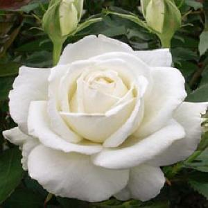 ROSA 'Douce Blanche'®