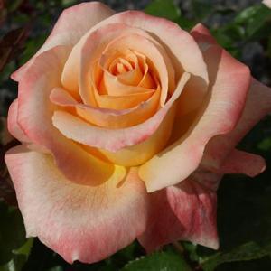 ROSA 'Favorita'® (Tige)