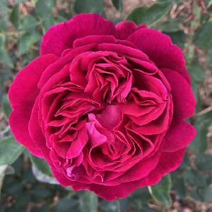 ROSA 'Falstaff' (='Ausverse')