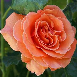 ROSA 'Francois Mauriac'® (tige)