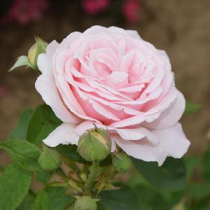 ROSA 'Frederic Mistral'®