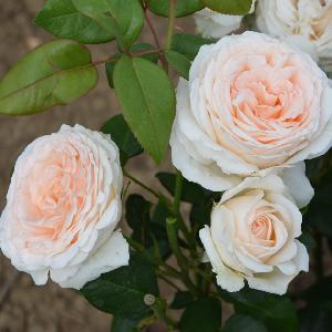 ROSA 'Gruaud La Rose'®
