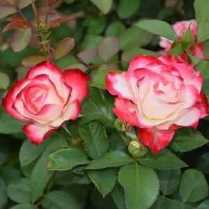 ROSA 'Jubile Prince de Monaco'®