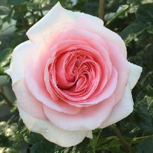 ROSA 'La Fontaine aux Perles'