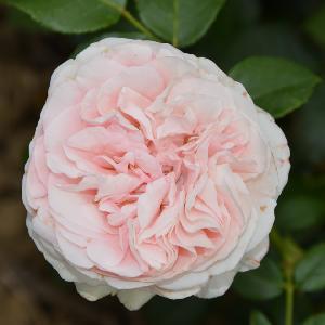 ROSA 'L'Alhambra'