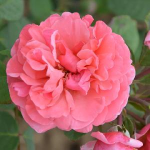 ROSA 'Line Renaud'® (buisson)